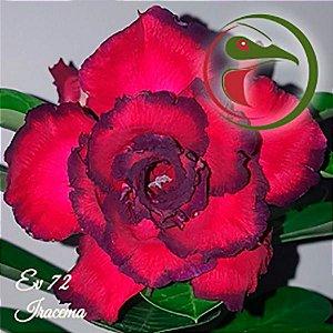 Muda Rosa do Deserto de enxerto com flor tripla na cor Vermelha e Roxo - EV72