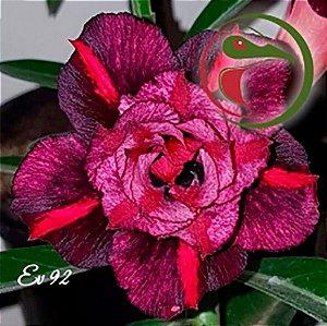 ENXERTO-EV92-Muda Rosa do Deserto de enxerto com flor tripla na cor Matizada - EV92