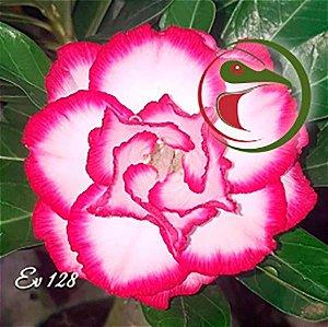Muda Rosa do Deserto de enxerto com flor tripla na cor Matizada - EV128