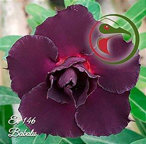 Muda Rosa do Deserto de enxerto com flor dobrada na cor Roxa - EV146