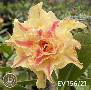 Muda Rosa do Deserto de enxerto com flor simples na cor Matizada - EV156
