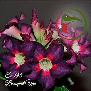 Muda Rosa do Deserto de enxerto com flor simples na cor Uva - EV192 - Bouquet