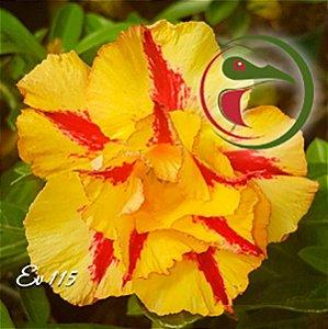 Muda Rosa do Deserto de enxerto com flor dobrada na cor Amarela - EV115