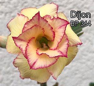Enxerto de uma cor com flor dobrada BP 364 (Dijon) - Importada