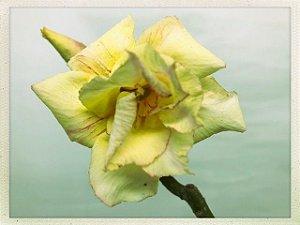 Muda Rosa do Deserto de semente com flor dobrada na cor Amarela