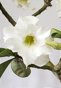 Planta adulta de Rosa do Deserto de enxerto com flor dobrada na cor Branca