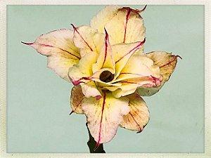 Muda Rosa do Deserto de semente com flor tripla na cor Amarela Matizada