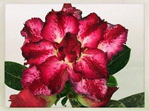 Muda Rosa do Deserto de semente com flor tripla na cor Matizada