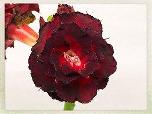 Muda Rosa do Deserto de semente com flor tripla na cor Negra