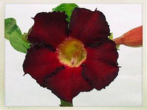 Muda Rosa do Deserto de semente com flor simples na cor Vermelha com Preto