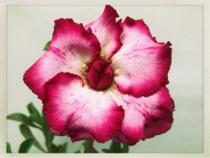 Muda Rosa do Deserto de semente com flor tripla na cor Rosa
