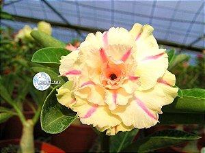 Flor Quádrupla - Kit com 3 sementes - KO57 - Mr. Ko