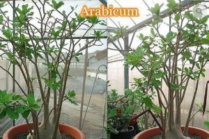 Adenium Arabicum - Kit com 3 sementes - Desert Night Fork - Mr. Ko