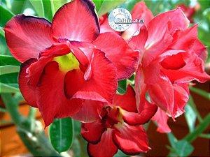 Flor Dobrada - Kit com 3 sementes - Doxon - Mr. Ko