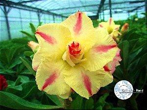 Flor Tripla - Kit com 3 sementes - KO01- Mr. Ko