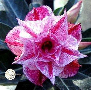 Flor Tripla - Kit com 3 sementes - KO17 - Mr. Ko