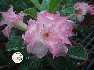 Flor Tripla - Kit com 3 sementes - KO25 - Mr. Ko