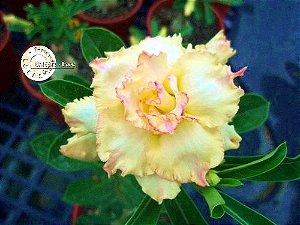 Flor Tripla - Kit com 3 sementes - KO28 - Mr. Ko