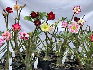Kit com 10 mudas de Rosa do Deserto de cores variadas