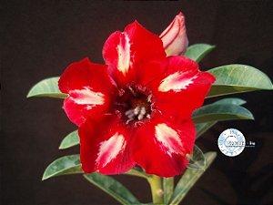 Flor Simples - Kit com 3 sementes - KO40 - Mr. Ko