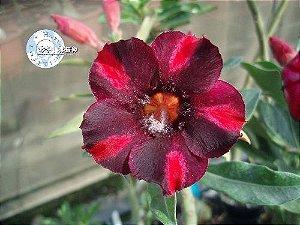 Flor Simples - Kit com 3 sementes - KO42 - Mr. Ko