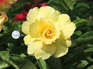 Flor Dobrada - Kit com 3 sementes - KO55 - Mr. Ko