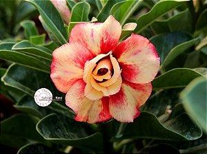 Flor Dobrada - Kit com 3 sementes - KO59 - Mr. Ko
