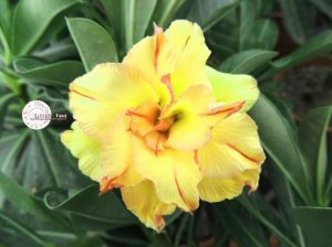 Flor Tripla - Kit com 3 sementes - KO61 - Mr. Ko