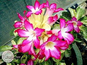 Flor Simples - Kit com 3 sementes - Noble - Mr. Ko