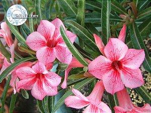 Flor Simples - Kit com 3 sementes - Star of Red Sparkles - Mr. Ko
