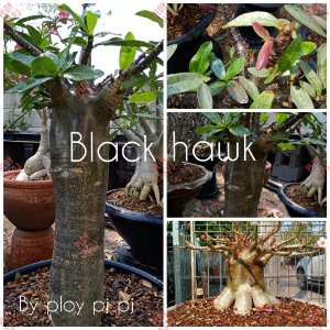 Sementes Raras - Black Hawk - Kit com 2 sementes