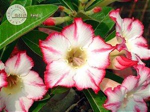 Flor Simples - Kit com 3 sementes - Uranian - Mr. Ko