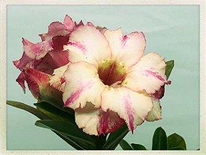 Muda Rosa do Deserto de semente com flor dobrada na cor Matizada
