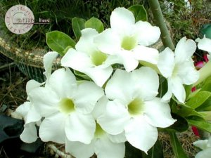 Flor Simples - Kit com 3 sementes - Angel - Mr. Ko