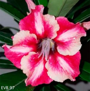 Muda Rosa do Deserto de enxerto com flor simples na cor matizada - EVB97