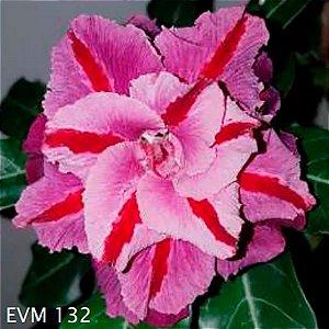 Muda Rosa do Deserto de enxerto com flor dobrada / tripla na cor Matizada - EVM132