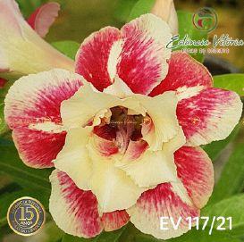Muda Rosa do Deserto de enxerto com flor dobrada na cor Matizada - EV117/21