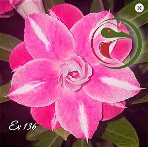 Muda Rosa do Deserto de enxerto com flor dobrada / tripla na cor Matizada - EV136