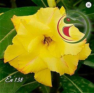 Muda Rosa do Deserto de enxerto com flor dobrada na cor Amarela - EV138