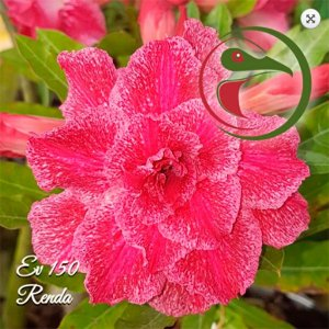 Muda Rosa do Deserto de enxerto com flor tripla na cor Rosa - EV150
