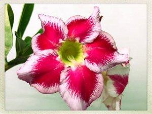 Muda Rosa do Deserto de semente com flor simples na cor Matizada (Dalila)