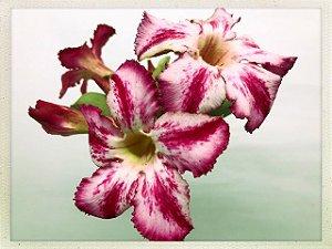 DUPLICADO - Muda Rosa do Deserto de semente com flor simples na cor Matizada
