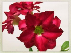 Muda Rosa do Deserto de semente com flor dobrada na cor Pink