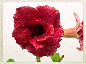 Muda Rosa do Deserto de semente com flor dobrada / tripla na cor Vinho