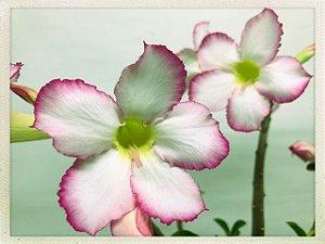 Muda Rosa do Deserto de semente com flor simples na cor Branca e Rosa
