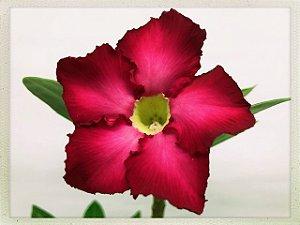 Muda Rosa do Deserto de semente com flor simples na cor Pink