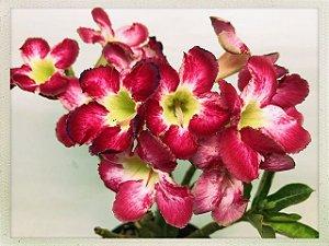 Muda Rosa do Deserto de semente com flor simples na cor Matizada - Bouquet