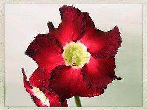 Muda Rosa do Deserto de semente com flor simples na cor Vermelha Absoluto