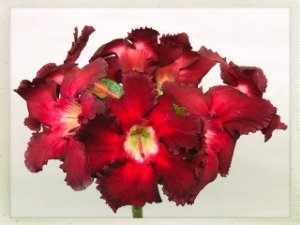 Muda Rosa do Deserto de semente com flor simples na cor Vermelha - Bouquet