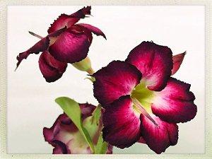 Muda Rosa do Deserto de semente com flor dobrada na cor Roxa